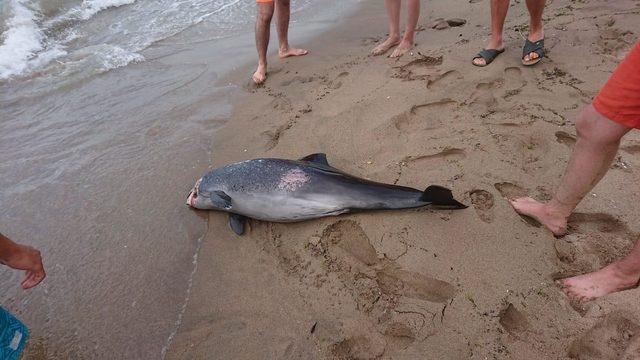 Bartın'da ölü yunus, sahile vurdu