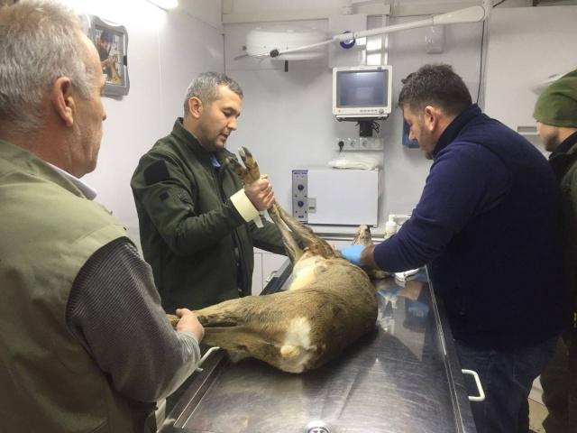 Bartın'da köpeklerin saldırdığı karaca tedavi edildi