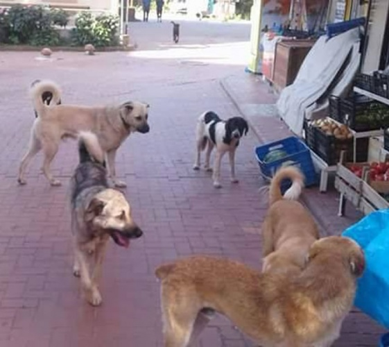 Bartın Çakraz'da Sokak köpekleri korkutuyor