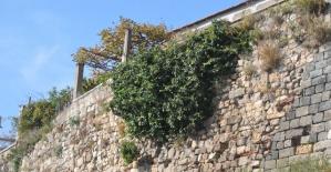 Tarihi mirası tehdit eden ağaçların kökü kurutuluyor