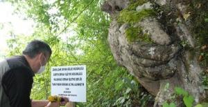 Bartın'da El Figürlü Ağaç Koruma Altına Alındı