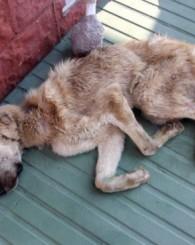 Bakımevinde bitkin düşen köpekler tedaviye alındı