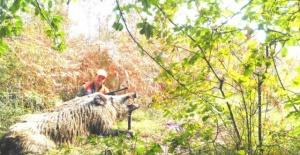 Bartın'da 400 kiloluk domuzu vurup, sosyal medyadan paylaştı
