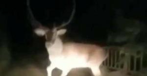 Bartın'da yola inen geyik görenleri hayrete düşürdü