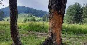 Çıra için çam ağaçlarını bu hale getirdiler