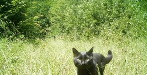 Bartın Küre Dağları Milli Parkı'nda ilk kez siyah yaban kedisi görüntülendi