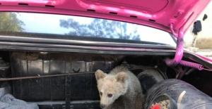 Bartın'da köpeklerin saldırısına uğrayan yavru ayıyı vatandaşlar kurtardı