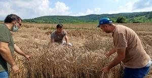 Bartın'da Ekilen 2 Çeşit Buğdaydan Rekor Verim