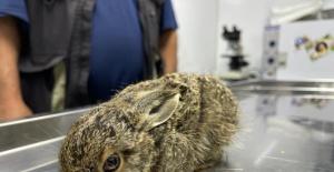 Bartın'da yaralı yavru tavşan tedaviye alındı