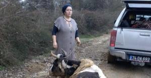 Bartın'da çamura saplanan inek kurtarıldı