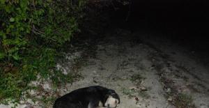 Bartın'da iğneyle bayıltılan sokak köpekleri yola terk edildi