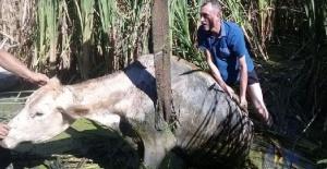 Bartın'da bataklığa saplanan inekler kurtarıldı
