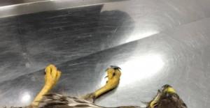 Bartın'da avcıların vurduğu şahine polisler sahip çıktı