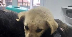 Bartın'da yaralanan köpeğin yavrusu yanından ayrılmadı