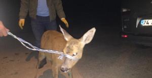 Bartın'da Bahçe Teline Takılıp Yaralanan Karaca Tedavi Edildi