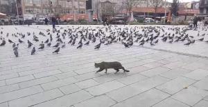 Bartın Cumhuriyet Meydanında Kedinin Güvercin Avı