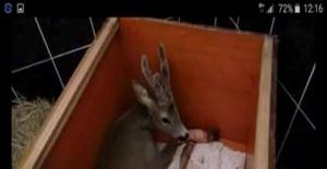 Bartın'da otomobilin çarptığı karaca yaralandı