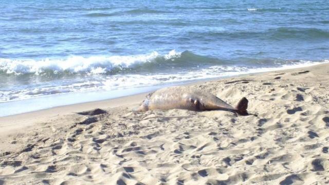 Bartın İnkum Sahilinde Ölü Yunuslar
