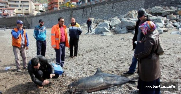 Başı gövdesinden kopan yunus sahile vurdu