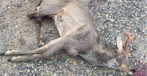 Otomobilin çarptığı geyik telef oldu