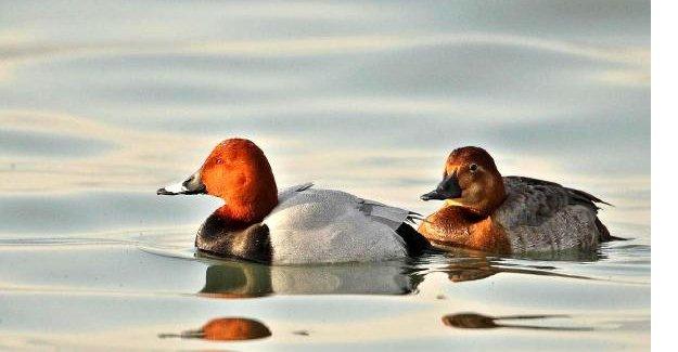 Nesli tükenen 2 kuş türüne av izni