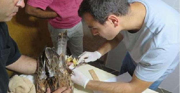 Yaralı kızıl şahin tedavinin ardından doğaya salındı