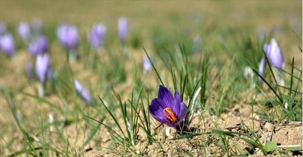 Safran hasadı başladı