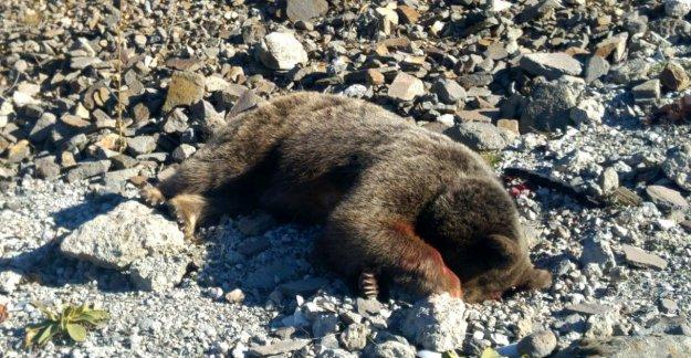 Avcıların 2 yavrusu ile vurduğu ayı müzede sergilenecek
