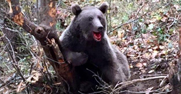 Ormanda tele takılan ayı kurtarıldı