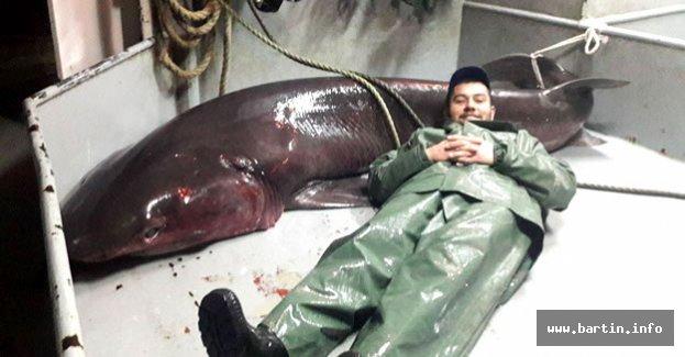 Amasralı Balıkçılar 4 metre uzunluğunda köpekbalığı yakaladı