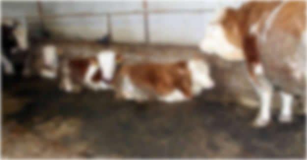 Kumluca'da 5 Hayvan Çalındı