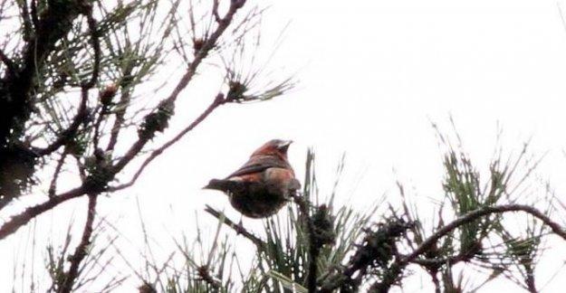 Çaprazgaga, 304'üncü kuş türü oldu