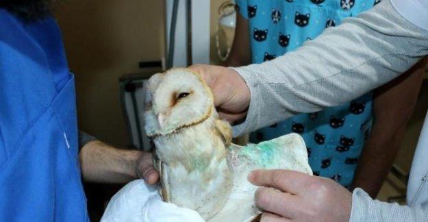 Yaralı baykuş tedavi edilerek doğaya bırakıldı