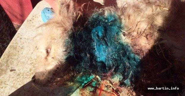Kangal, Süs Köpeğine Saldırdı