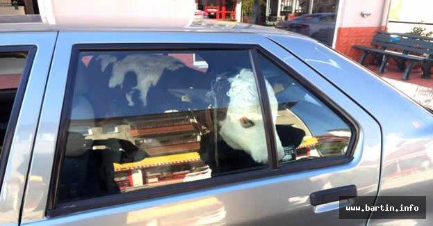 Buzağıyı veterinere otomobili ile götürdü