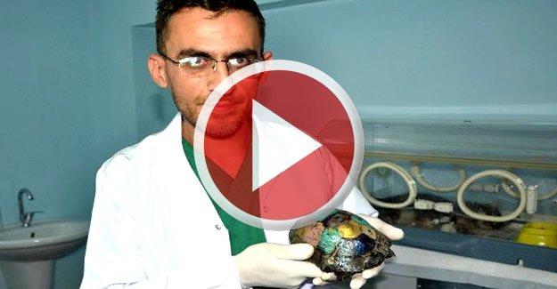 İşkence ile Kabuğu kıralan kaplumbağaya tedavi