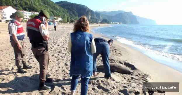 Bartın'da 2 ölü yunus sahile vurdu