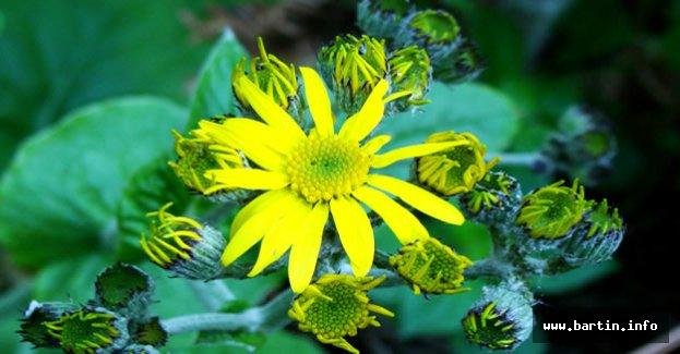 Bartın'da yeni bir endemik bitki türü keşfedildi