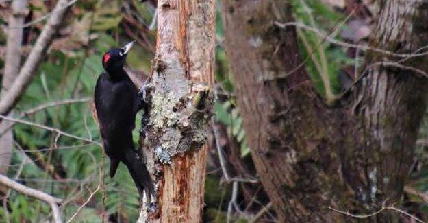 Kara ağaçkakan, 305. kuş türü