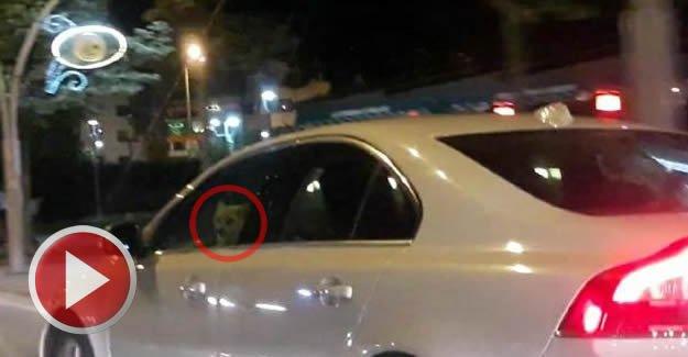 Seyir halindeki otomobilin şoför koltuğundaki köpek şaşırttı