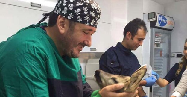 Köpeklerin saldırısına uğrayan karaca tedavi edildi