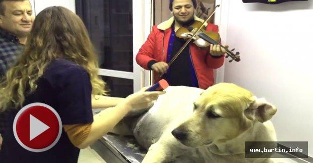 Keman eşliğinde köpek traşı