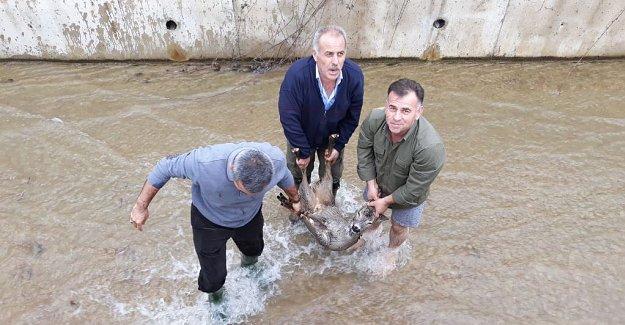 Su Kanalına Düşen Karaca Kurtarıldı