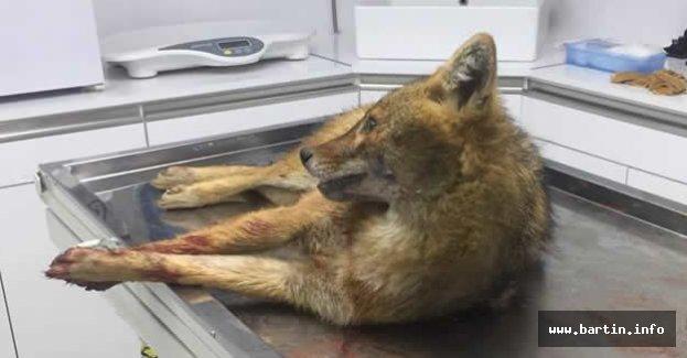 Araç çarpan gebe tilkiye tedavi