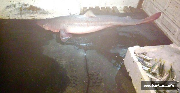 Kaçak Köpekbalığı Avcılarına Ceza