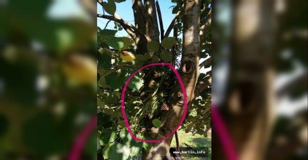 Yaklanmamak için ağaçlarda kamufle etmişler