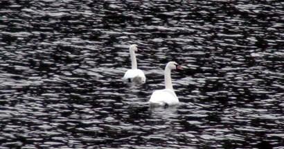 Bartın Irmağında Kuğularla Dans