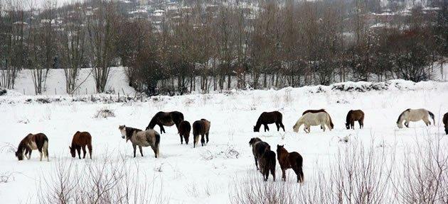 Başıboş Atların Kar Altında Yaşam Mücadelesi