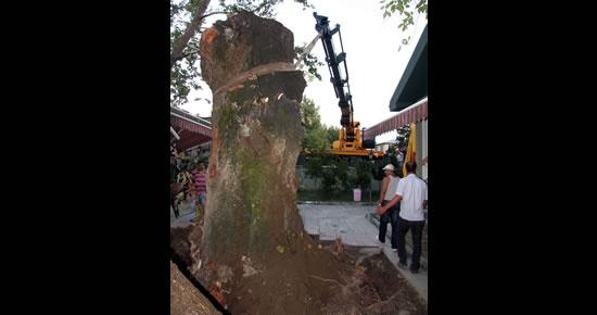 Fırtınada devrilen 300 yıllık ağaç yeniden dikildi