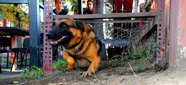 Afad'ın 'pahalı' Arama Ve İz Sürme Köpekleri Asker Gibi Eğitiliyor